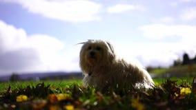 Λίγο άσπρο σκυλί κάθεται στο φύλλωμα φιλμ μικρού μήκους