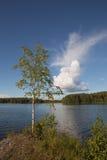 Λίγο δέντρο σημύδων Στοκ φωτογραφίες με δικαίωμα ελεύθερης χρήσης