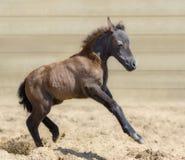 Λίγο αμερικανικό μικροσκοπικό foal κόλπων εύθυμο στην άμμο Στοκ Εικόνα