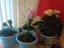 Λίγο ανθίζοντας φυτό που αυξήθηκα ο ίδιος στοκ φωτογραφίες