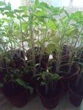 Λίγο ανθίζοντας φυτό που αυξήθηκα ο ίδιος στοκ φωτογραφία με δικαίωμα ελεύθερης χρήσης