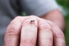 Λίγο απορροφώντας αίμα κουνουπιών στο δέρμα ατόμων Στοκ Φωτογραφία