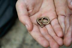 Λίγο αργό σκουλήκι στο φοίνικα Στοκ Φωτογραφία