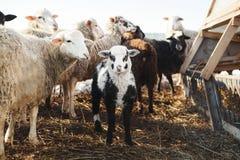 Λίγο αρνί μεταξύ των προβάτων Ζωικό κεφάλαιο στη γεωργία Στοκ Εικόνες