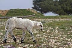 Λίγο αρνί σε Istria Στοκ Εικόνα