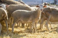 Λίγο αρνί στο άχυρο, μικρά πρόβατα στοκ φωτογραφία με δικαίωμα ελεύθερης χρήσης