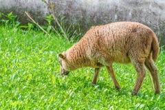 Λίγο αρνί στο λιβάδι τρώει την πράσινη χλόη Στοκ Εικόνες