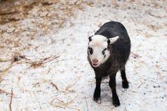 Λίγο αρνί στο χειμερινό αγρόκτημα Στοκ εικόνες με δικαίωμα ελεύθερης χρήσης