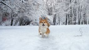 Λίγο αστείο χνουδωτό κουτάβι corgi που περπατά υπαίθρια στη χειμερινή ημέρα φιλμ μικρού μήκους