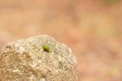 Λίγο βρύο στην πέτρα Στοκ φωτογραφίες με δικαίωμα ελεύθερης χρήσης