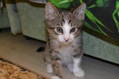 Λίγο γατάκι κοιτάζει σοβαρά σε κάτι Στοκ Εικόνες