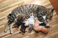 λίγο γατάκι μωρών θηλάζει mom το ξύλινο υπόβαθρο γατών Στοκ Φωτογραφίες