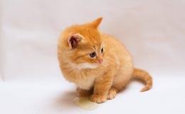 Λίγο γατάκι πιπεροριζών Στοκ Εικόνες