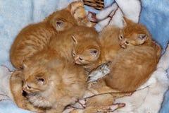 Λίγο γατάκι πιπεροριζών Στοκ Εικόνα