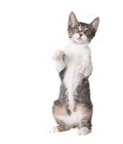 Λίγο γατάκι που στέκεται κατ' ευθείαν επάνω στα οπίσθια πόδια Στοκ Εικόνες