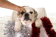 Λίγο γαλλικό cub μπουλντόγκ στο κιβώτιο Χριστουγέννων ως Santa παρόν στην έννοια Χριστουγέννων δώρων σκυλιών Στοκ Φωτογραφίες