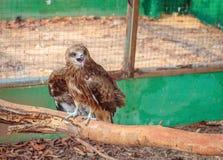 Λίγο γεράκι στο κλουβί ζωολογικών κήπων Στοκ εικόνες με δικαίωμα ελεύθερης χρήσης