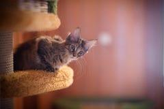 Λίγο γκρίζο γατάκι Μαίην coon στο ράφι Στοκ φωτογραφία με δικαίωμα ελεύθερης χρήσης
