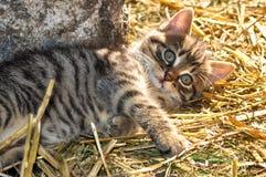 Λίγο γκρίζο γατάκι που βρίσκεται στο σανό στον ήλιο, που εξετάζει τη κάμερα, στην επαρχία στοκ φωτογραφία με δικαίωμα ελεύθερης χρήσης