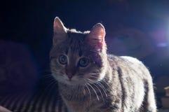 Λίγο γκρίζο γατάκι Στοκ Φωτογραφίες