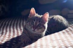 Λίγο γκρίζο γατάκι Στοκ φωτογραφία με δικαίωμα ελεύθερης χρήσης