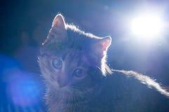 Λίγο γκρίζο γατάκι Στοκ Φωτογραφία