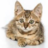 Λίγο γκρίζο πορτρέτο γατακιών επάνω Στοκ φωτογραφία με δικαίωμα ελεύθερης χρήσης