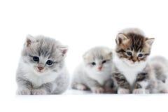 Λίγο γκρίζο χνουδωτό λατρευτό γατάκι που φαίνεται ευθύ στη κάμερα με τα όμορφα μπλε μάτια ενώ άλλα που θέτουν Στοκ Εικόνες