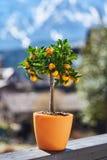 Λίγο δέντρο μανταρινιών με τα φρούτα σε ένα δοχείο στην ηλιόλουστη ημέρα στοκ φωτογραφία με δικαίωμα ελεύθερης χρήσης
