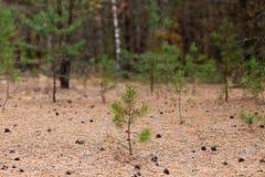Λίγο δέντρο πεύκων με τους κώνους στο έδαφος στοκ φωτογραφίες με δικαίωμα ελεύθερης χρήσης