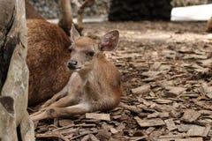 Λίγο ελάφι στο ζωολογικό κήπο του Μπαλί, Ινδονησία στοκ φωτογραφία με δικαίωμα ελεύθερης χρήσης