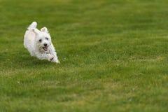 Λίγο ευτυχές τρέξιμο σκυλιών στοκ φωτογραφίες