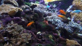 Λίγο ζωηρόχρωμο ψάρι και άλλα στο κοράλλι στενό απόθεμα βίντεο