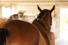 Λίγο ζώο γατών γατακιών γατακιών στην πλάτη αλόγου αλόγων Στοκ φωτογραφία με δικαίωμα ελεύθερης χρήσης