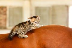 Λίγο ζώο γατών γατακιών γατακιών στην πλάτη αλόγου αλόγων Στοκ Εικόνες