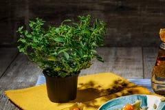 Λίγο διακοσμητικό δέντρο σε ένα δοχείο σε ένα ξύλινο υπόβαθρο Φρέσκες πράσινες εγκαταστάσεις σε ένα κύπελλο για μια κουζίνα Στοκ φωτογραφία με δικαίωμα ελεύθερης χρήσης