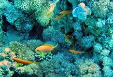 Λίγο κίτρινο ψάρι που κολυμπά κοντά στα κοράλλια Στοκ Εικόνα