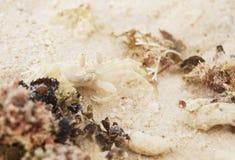 Λίγο καβούρι στην άμμο Στοκ Εικόνα