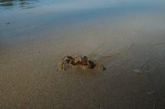Λίγο καβούρι στην παραλία μαγγροβίων Στοκ Εικόνες