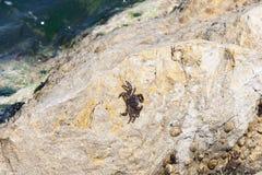 Λίγο καβούρι στο βράχο θορίου Στοκ εικόνα με δικαίωμα ελεύθερης χρήσης