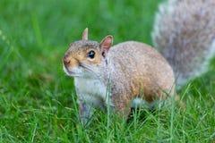 Λίγο και χαριτωμένος σκίουρος στοκ φωτογραφίες με δικαίωμα ελεύθερης χρήσης