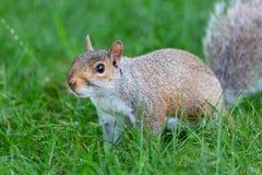 Λίγο και χαριτωμένος σκίουρος στοκ εικόνες με δικαίωμα ελεύθερης χρήσης