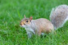 Λίγο και χαριτωμένος σκίουρος στοκ φωτογραφία με δικαίωμα ελεύθερης χρήσης