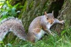 Λίγο και χαριτωμένος σκίουρος στοκ φωτογραφία