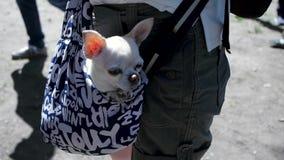 Λίγο καλό σκυλί στη σκούρο μπλε τσάντα του ταξιδιώτη, ηλιόλουστη ημέρα συνδετήρας Λίγο άσπρο σκυλί στην τσάντα ταξιδιού Η έννοια φιλμ μικρού μήκους