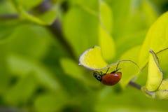 Λίγο καφετί ladybug σε μερικά φύλλα Στοκ Εικόνες