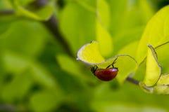 Λίγο καφετί ladybug σε μερικά φύλλα Στοκ φωτογραφίες με δικαίωμα ελεύθερης χρήσης