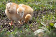 Λίγο κοτόπουλο, κίτρινα κοτόπουλα στη χλόη Εκτρέφοντας μικρά κοτόπουλα Καλλιέργεια πουλερικών στοκ φωτογραφία με δικαίωμα ελεύθερης χρήσης