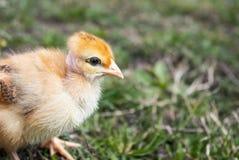 Λίγο κοτόπουλο, κινηματογράφηση σε πρώτο πλάνο, κίτρινο κοτόπουλο στη χλόη Αναπαράγοντας μικρά κοτόπουλα r στοκ εικόνα με δικαίωμα ελεύθερης χρήσης