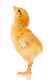 Λίγο κοτόπουλο Στοκ φωτογραφίες με δικαίωμα ελεύθερης χρήσης